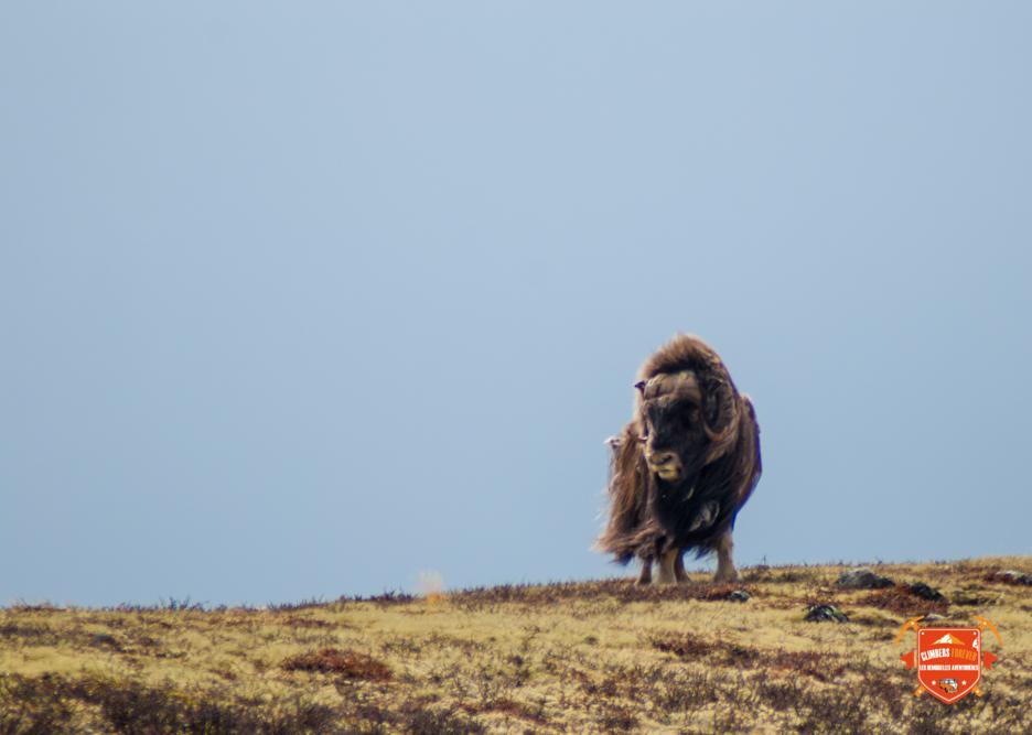 Le Boeuf musqué une espèce en voie de disparition, que l'on trouve uniquement dans les régions Arctique