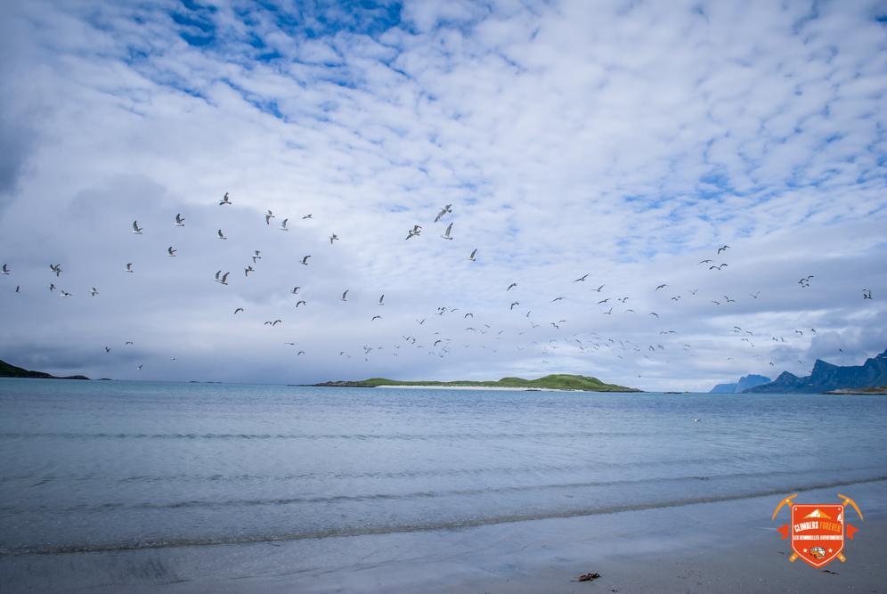 Quelques centaines de sortes d'oiseaux, sont représentés, de la Mouette à l'Aigle Picargue aux Macareux en passant par l'Huîtrier Pie c'est un vrai festival d'oiseaux chaque jours sur les îles Lofoten...